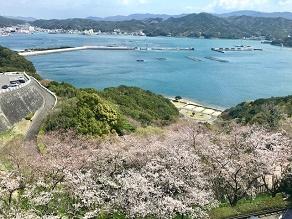 八分咲き!~心地よい春風に吹かれる園地の桜~