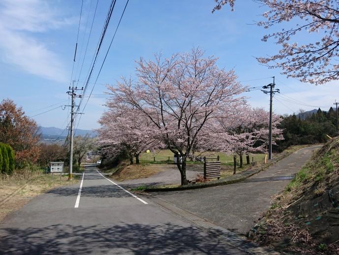 続々と見頃♪ 桜スポット
