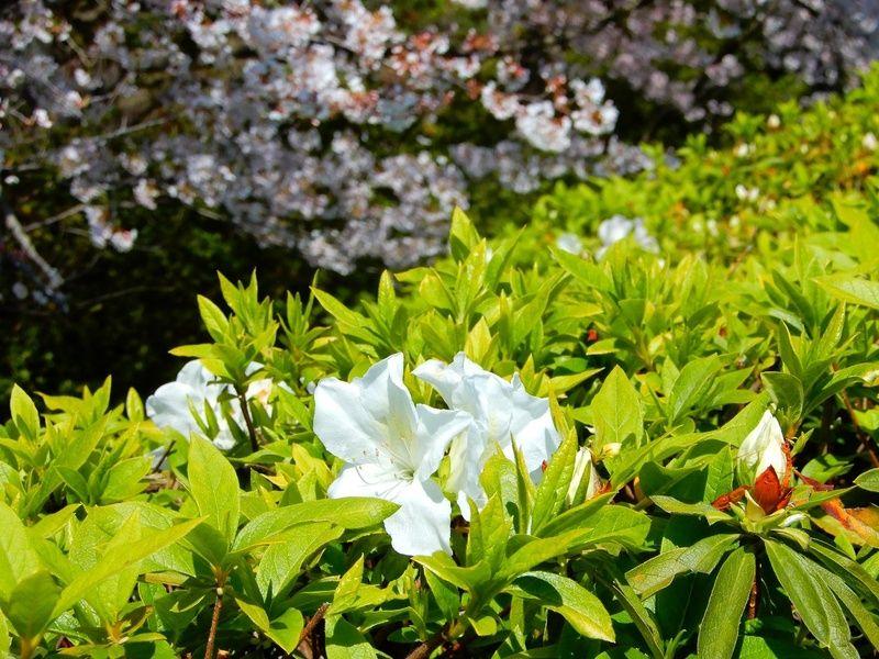 平戸ツツジが咲き始めました♪