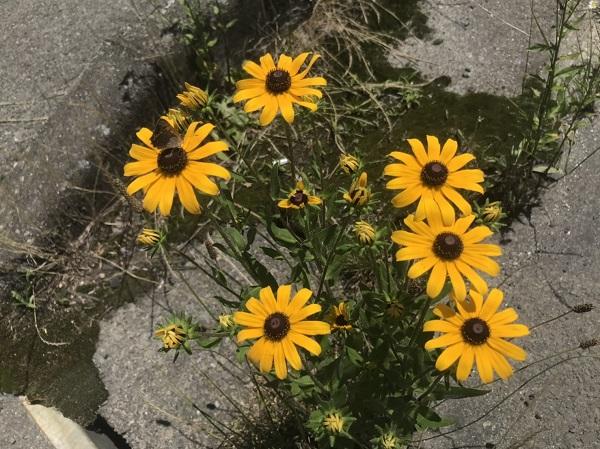 夏のお花、ルドベキア咲いています♪