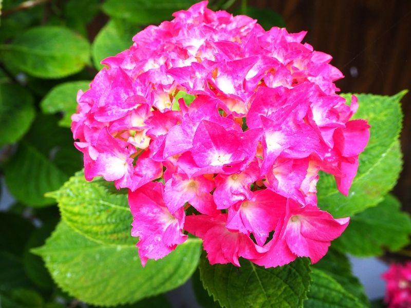 竜舞崎のアジサイ咲きました!