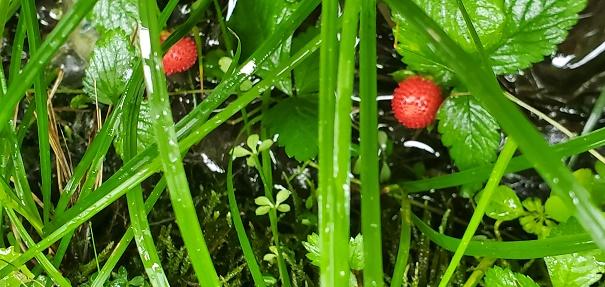 梅雨時の赤い実を見つけた!!