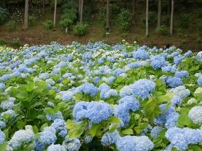 日本最大級のあじさい園を堪能