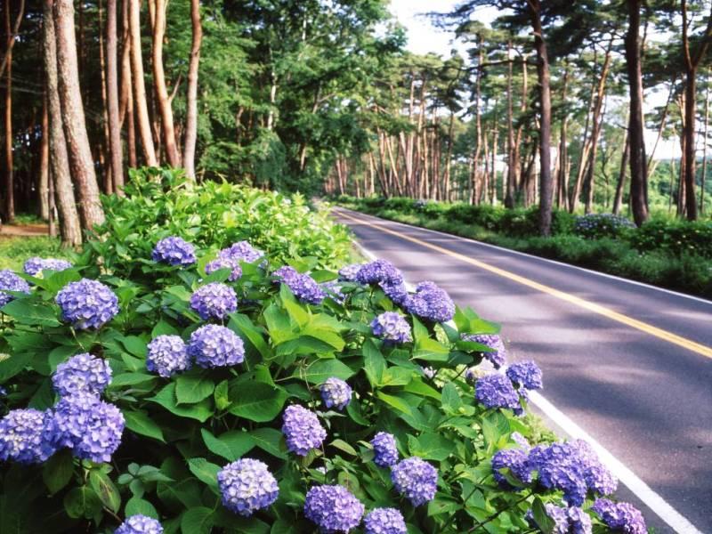 まだまだ見ごろ!<br>ー那須街道を彩る紫陽花ー
