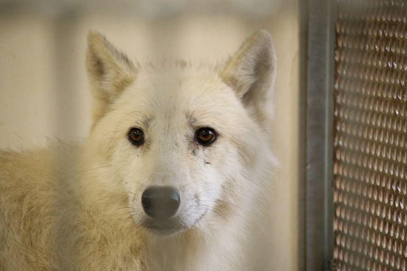 国内唯一!<br>那須に響く幻の白いオオカミの呼声!!