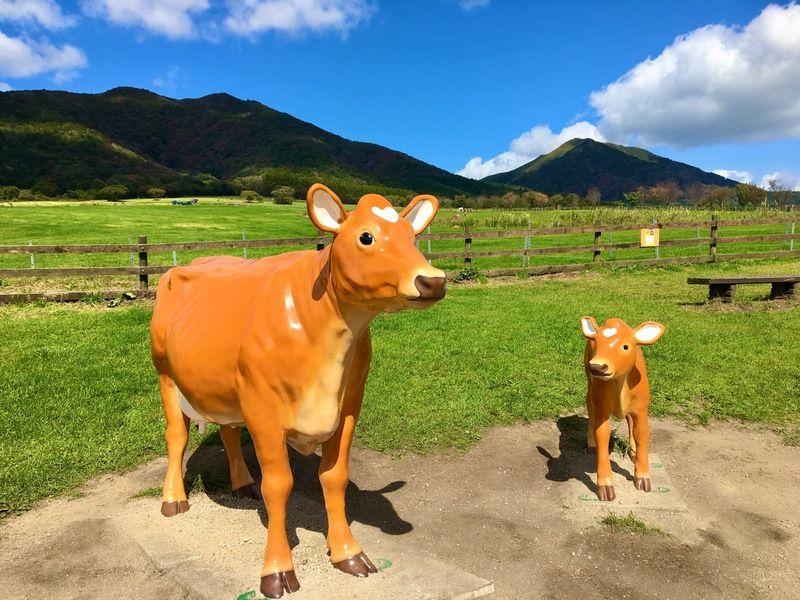 蒜山高原ちょこっと知識~ジャージー牛~