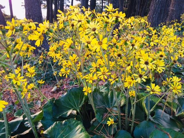 """黄色い花を咲かせる""""ツワブキ"""" 季節は秋から冬へ"""
