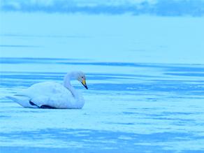 今年も冬の「伊豆沼」へ行ってきました♪