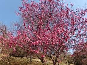 梅が咲いてきました♪・・・広田梅林