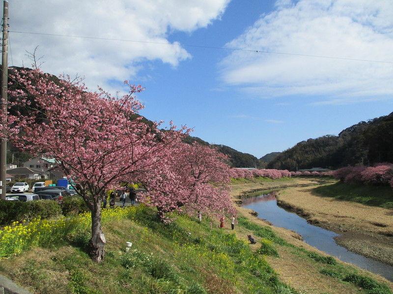 今年の桜祭りも大変賑わっています!