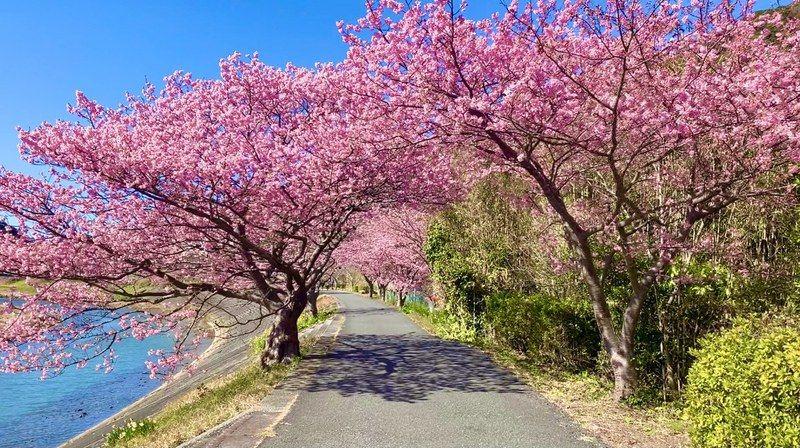 菜の花畑とみなみの桜は まだ綺麗です!!