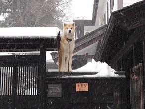 武家屋敷の秋田犬♪