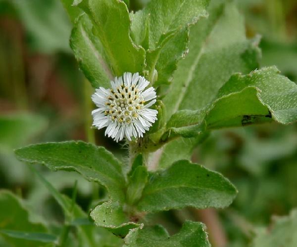 タカサブロウという花をご存知ですか?