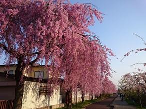 休暇村裏磐梯 周辺 桜の例年開花日!!