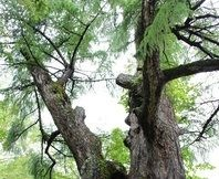 樹齢400年元気の木