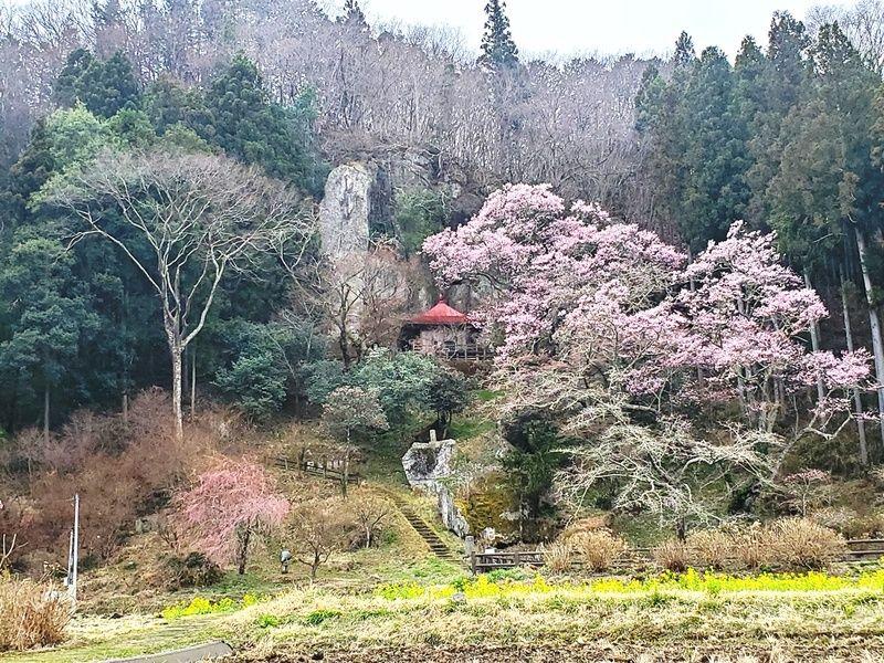 先出し周辺桜情報『芦野地区』~咲き始め~
