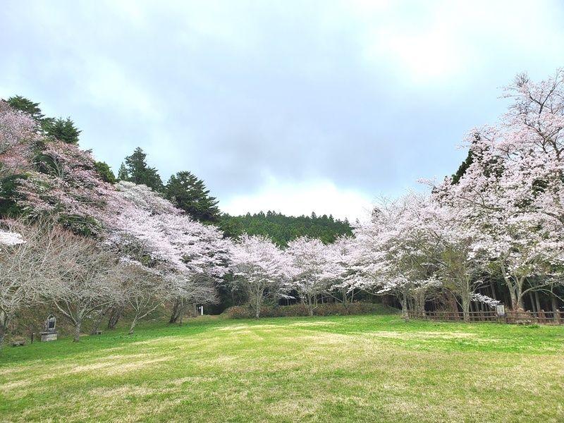 周辺桜情報『芦野地区』~満開~