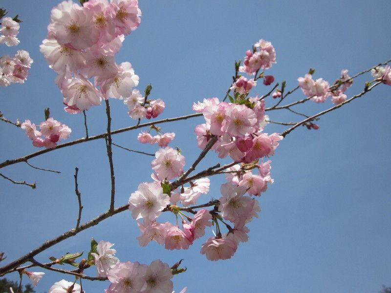 気仙沼大島 桜が咲き始めました