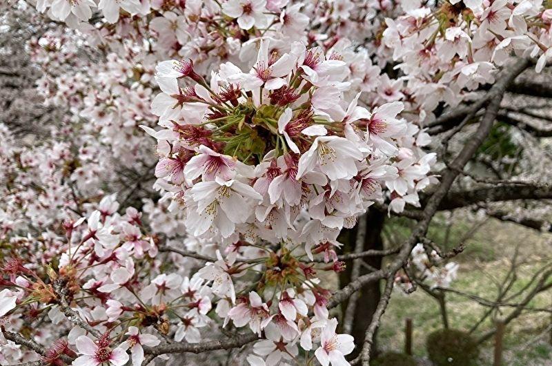 那珂川河畔公園の桜は見頃です!