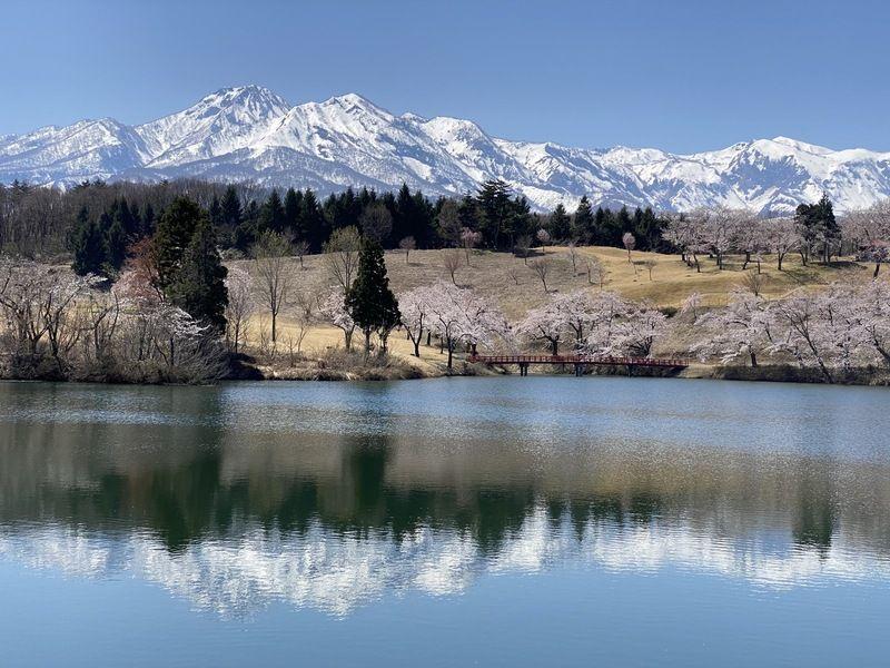 松ヶ峰の桜の下散歩しませんか