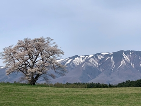 雫石桜前線