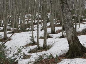 ブナ林の雪根開きが進んでいます。