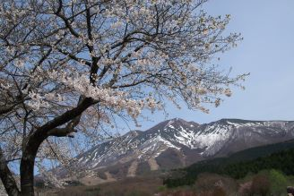 満開のソメイヨシノと残雪の「秋田駒ヶ岳」でもてなす、春。