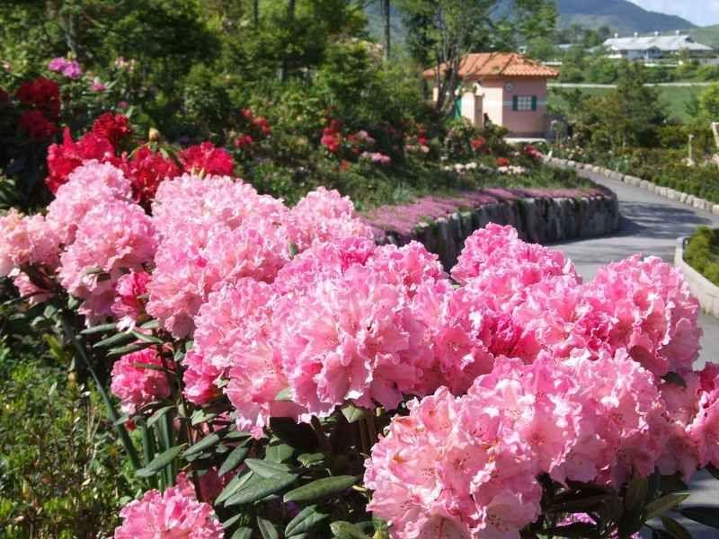 蒜山高原で1万5千株のシャクナゲが咲き誇る!!