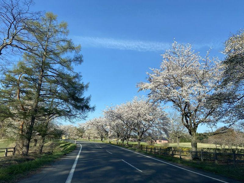 秋田と岩手の桜