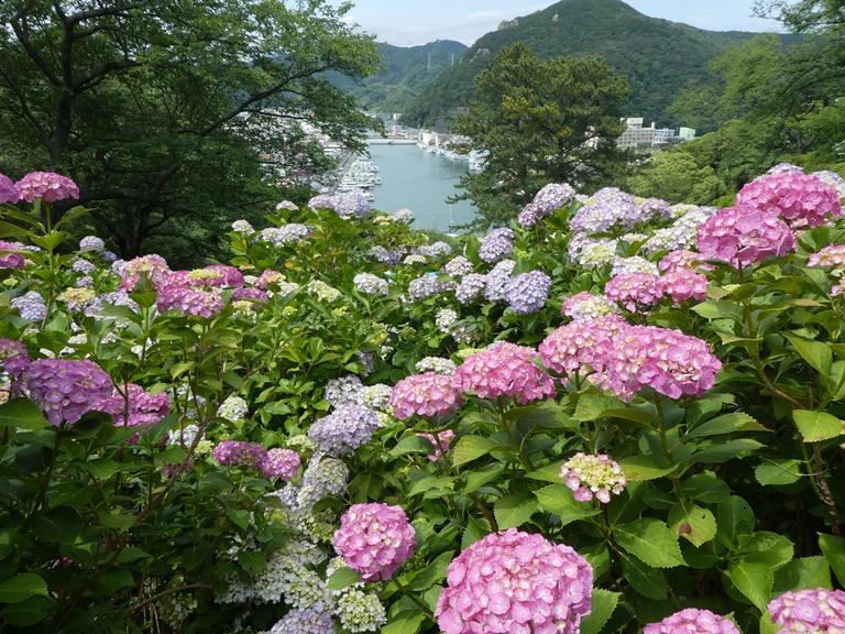 初夏の風物詩の季節がやってきます!~下田公園のあじさい~