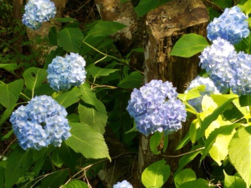 休暇村から近い紫陽花スポット