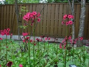露天風呂のクリンソウ 順調に開花中です!