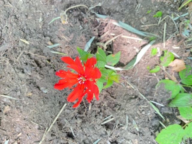 マツモトセンノウ咲いてます!
