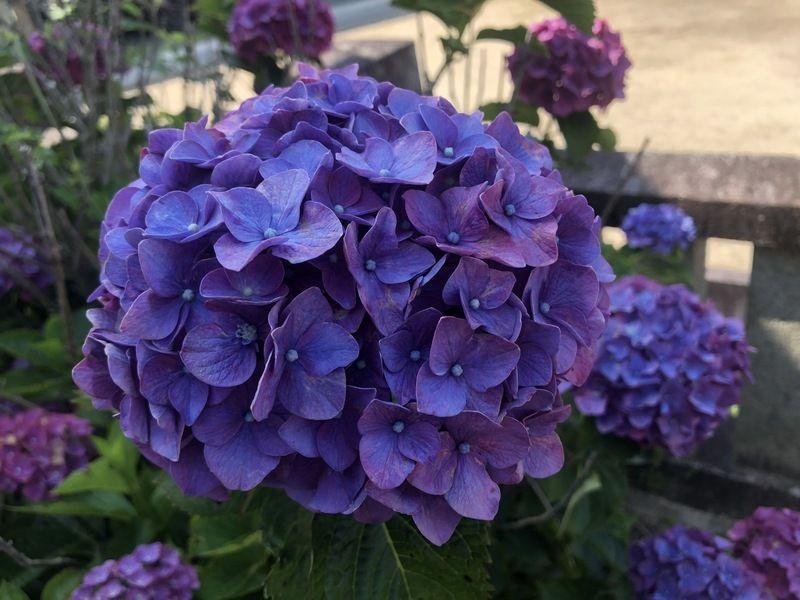 紫陽花の名所に行ってきました✿その一