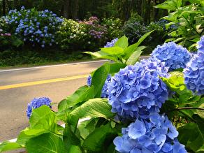 那須街道の紫陽花が少しずつ...