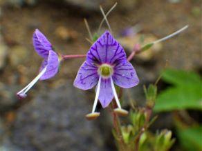 磐梯山特産の高山植物バンダイクワガタ! ~今、花が一杯です!