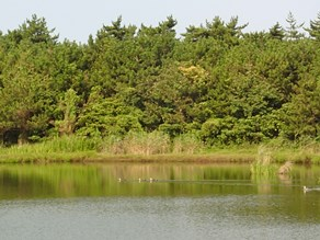みどり池は『カルガモたちの楽園