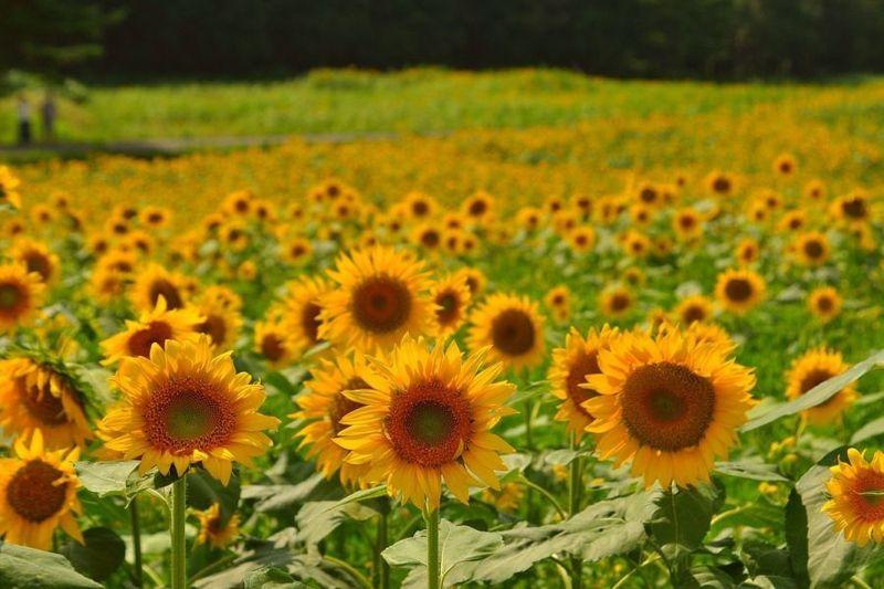 情熱の花『向日葵』の綺麗な季節がやってきます*+